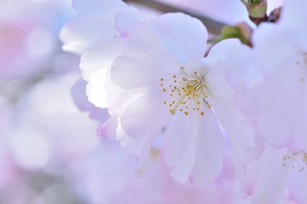 桜色 舞うころ