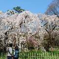 枝垂れ桜を撮りたくて♪