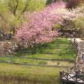 八重桜散策♪