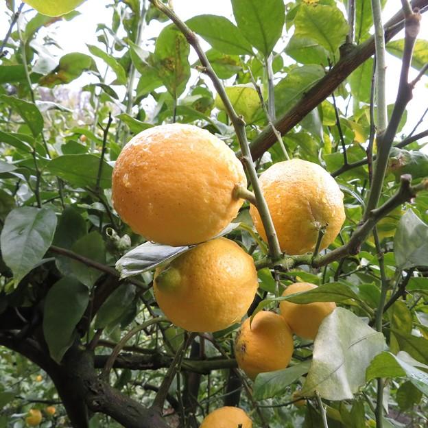 木生りレモン
