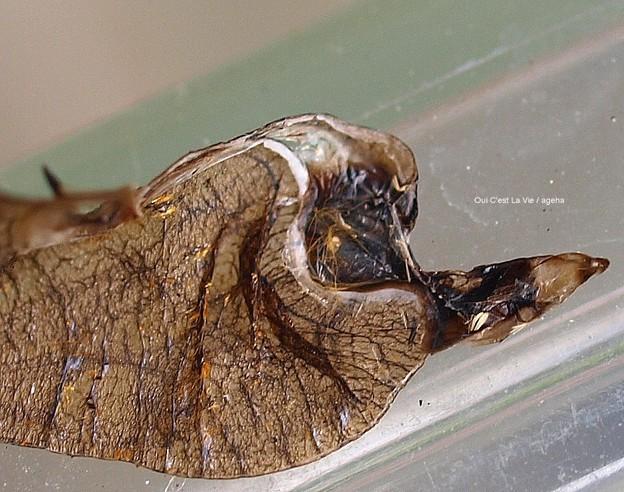穴あき蛹羽化抜け殻。内側なんて初めて見たぞ(ツマグロヒョウモン飼育)