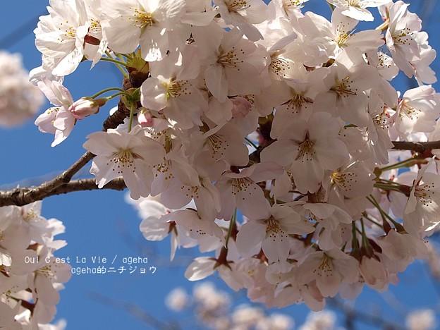 2015桜満開。