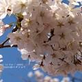 Photos: 2015桜満開。