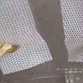 Photos: 残る1頭。(ナミアゲハ飼育 越冬蛹)