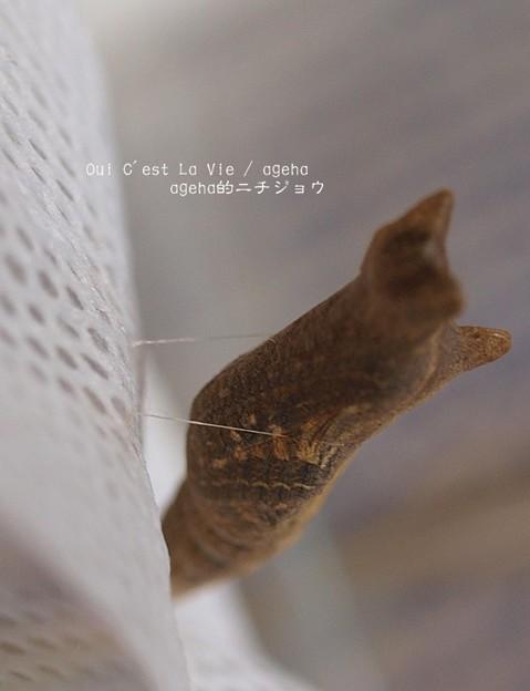 4月24日(金)羽化当日。(ナミアゲハ飼育 越冬蛹)
