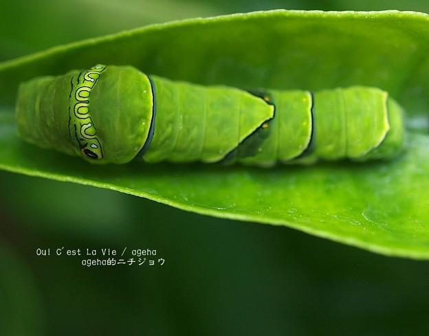 これでもう幼虫の脱皮は終わり。(ナミアゲハ飼育)