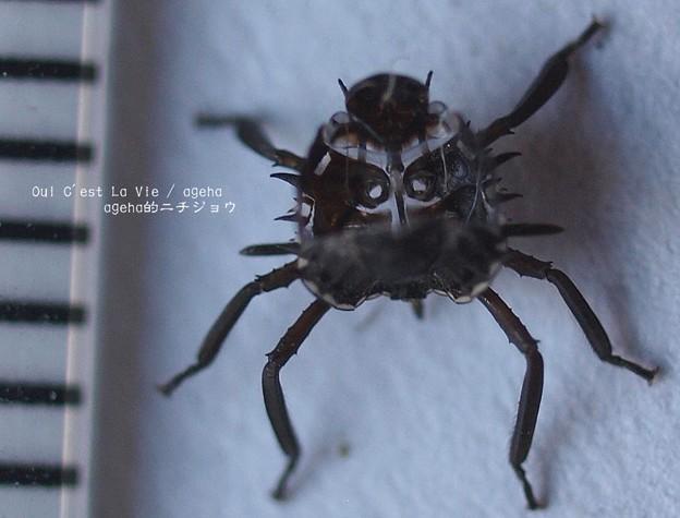 クサギカメムシ幼虫脱け殻。