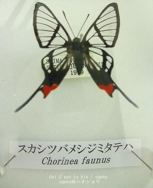 スカシツバメシジミタテハ。(世界の蝶展)