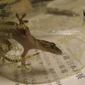 Photos: 恐竜だねきみ。(真夜中にヤモリ捕獲)