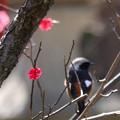 写真: 紅梅とジョウビタキ