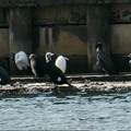 写真: 川鵜の集まり