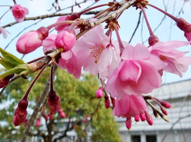 八重枝垂れ桜 蕾
