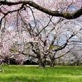 Photos: 六月坂地区の桜