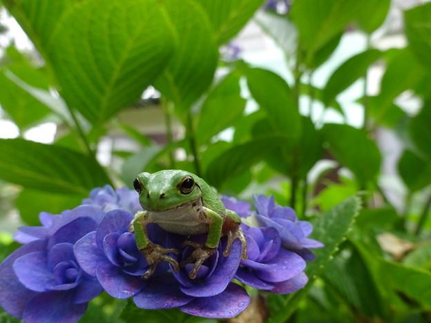 Photos: 紫陽花と雨蛙