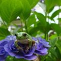 紫陽花と雨蛙