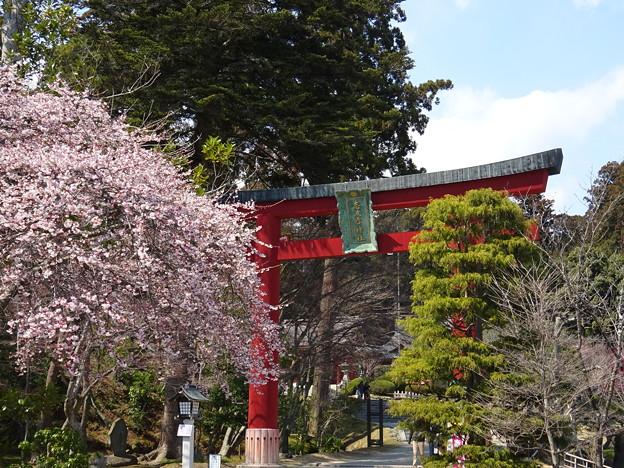 満開の四季桜