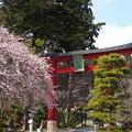 写真: 満開の四季桜