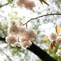 Photos: 八重の花びら