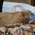 写真: 2009年03月15日の茶トラのボクチン(4歳)