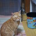 写真: 2010年03月15日の茶トラのボクチン(5歳)