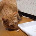 写真: 2009年03月19日の茶トラのボクチン(4歳)