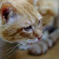 写真: 2010年04月08日の茶トラのボクチン(5歳半)