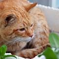 写真: 2009年04月25日の茶トラのボクチン(もう直ぐ5歳)