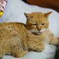 写真: 2012年04月25日の茶トラのボクチン(もう直ぐ8歳)