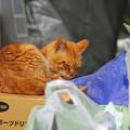写真: 2011年05月03日の茶トラのボクチン(ほとんど7歳)
