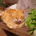 写真: 2011年05月13日の茶トラのボクチン(7歳)