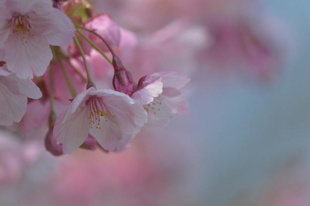 写真: 咲き初めは乙女色♪
