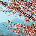 Photos: 桜フレーム