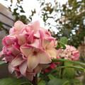 沈丁花、花盛り~