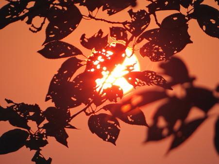 朝日と虫食い葉