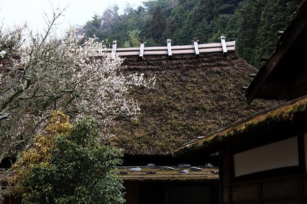 茅葺屋敷の梅の花