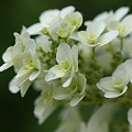 Photos: 白い花の柏葉紫陽花