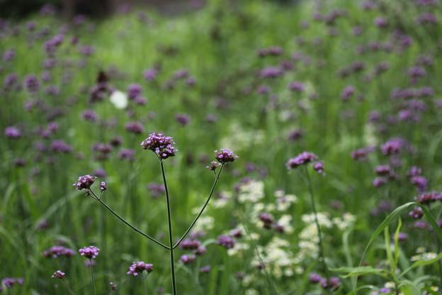 柳花笠 (やなぎはながさ) Verbena bonariensis