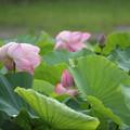 Photos: 蓮 Lotus ・・ エコパーク