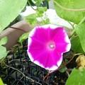 新しい種から咲いた宇宙アサガオ