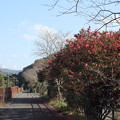 Photos: 遊歩道にさく山茶花