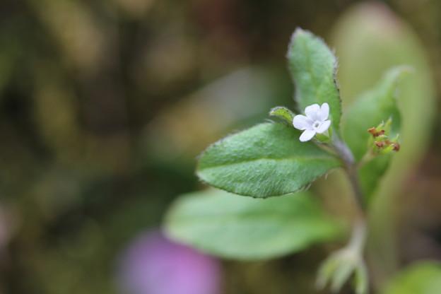 小さい花・・キュウリグサ?