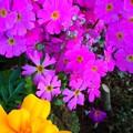 春の花 寄せ植え