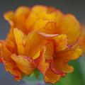 写真: 無言の愛の花