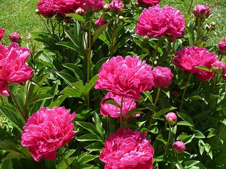 隣の御宅の見事な花