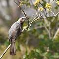 ダンコウバイの蕾を食べるヒヨドリ