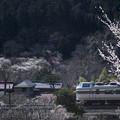 写真: 梅の郷の春
