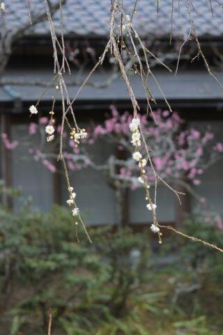 Photos: 鎌倉の垂れ梅