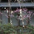 鎌倉の垂れ梅