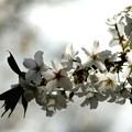 大島桜の輝き