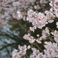 桜に胸が踊る季節